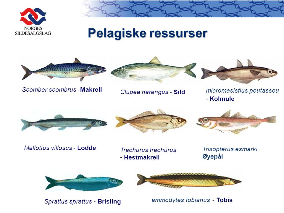 Pelagiske ressurser micromesistius poutassou Scomber scombrus -Makrell
