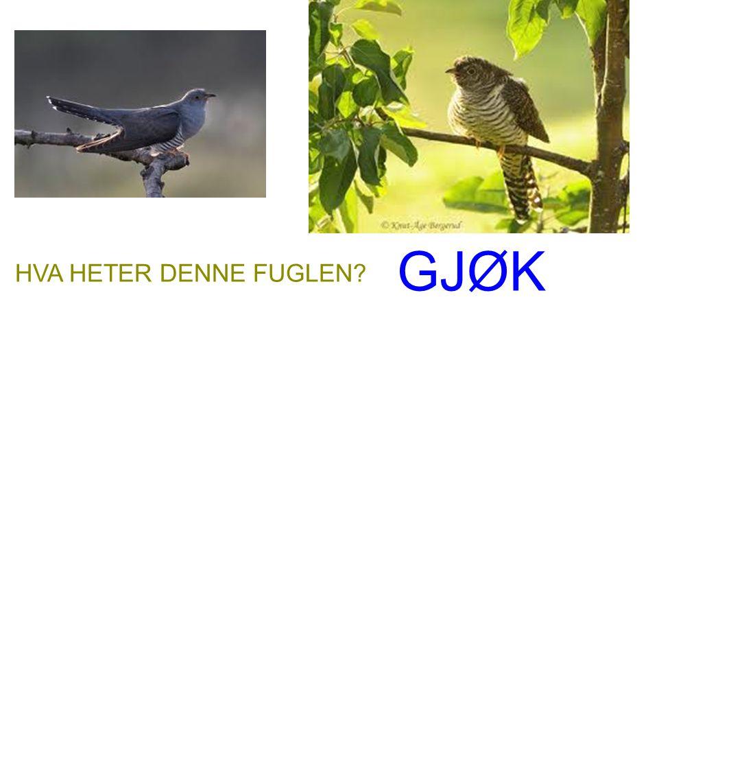 GJØK HVA HETER DENNE FUGLEN