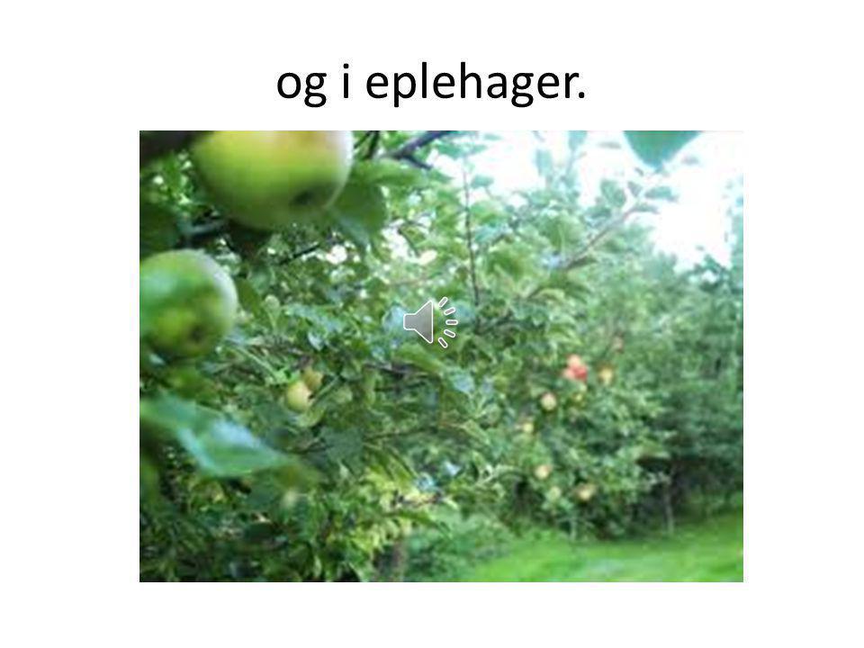 og i eplehager.
