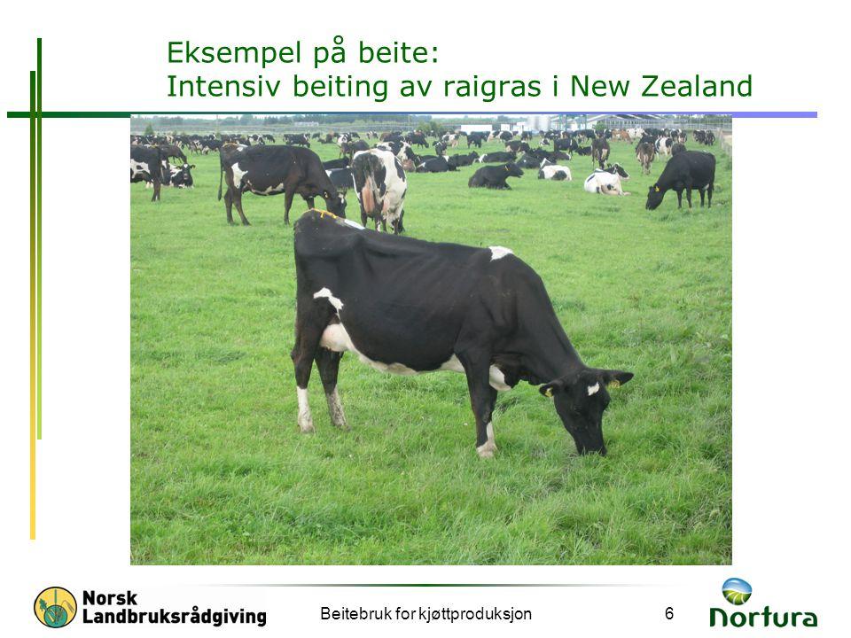 Eksempel på beite: Intensiv beiting av raigras i New Zealand