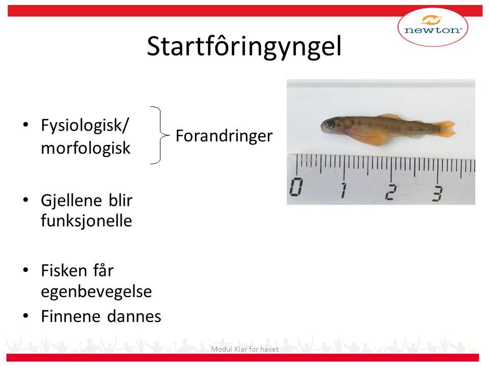 Startfôringyngel Fysiologisk/ morfologisk Forandringer