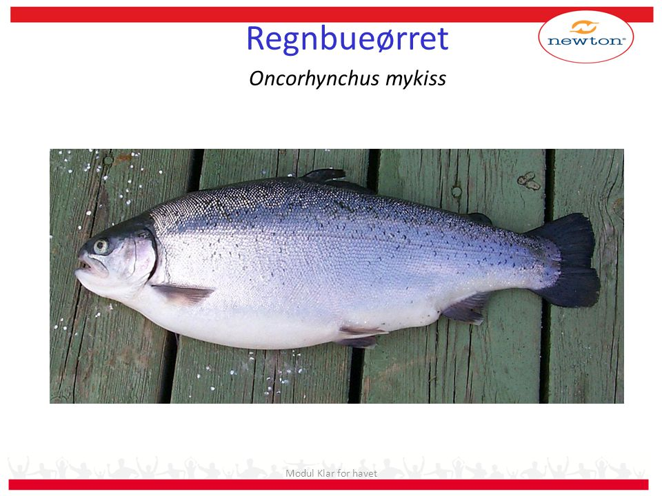 Regnbueørret Oncorhynchus mykiss