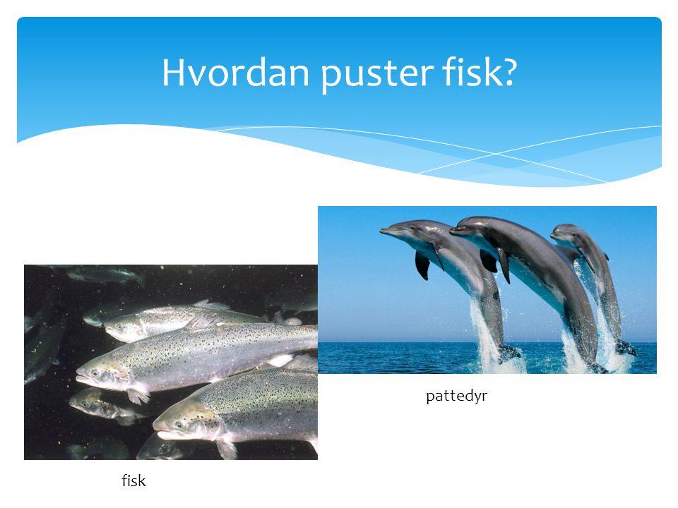 Hvordan puster fisk pattedyr fisk