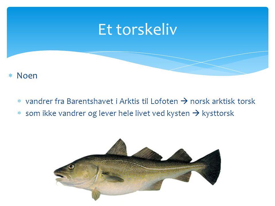 Et torskeliv Noen. vandrer fra Barentshavet i Arktis til Lofoten  norsk arktisk torsk.