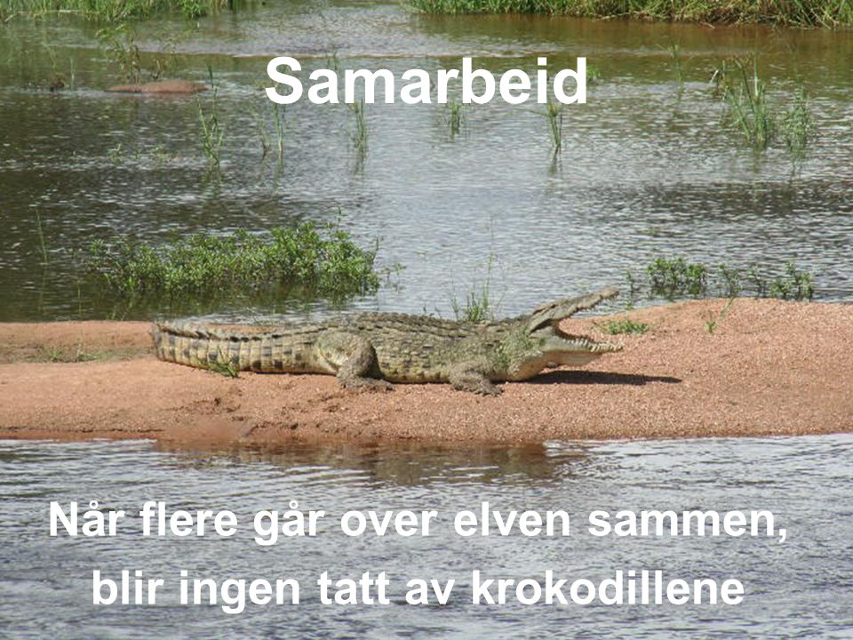 Når flere går over elven sammen, blir ingen tatt av krokodillene