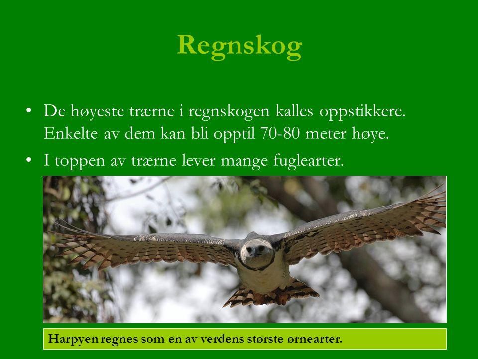 Regnskog De høyeste trærne i regnskogen kalles oppstikkere. Enkelte av dem kan bli opptil 70-80 meter høye.