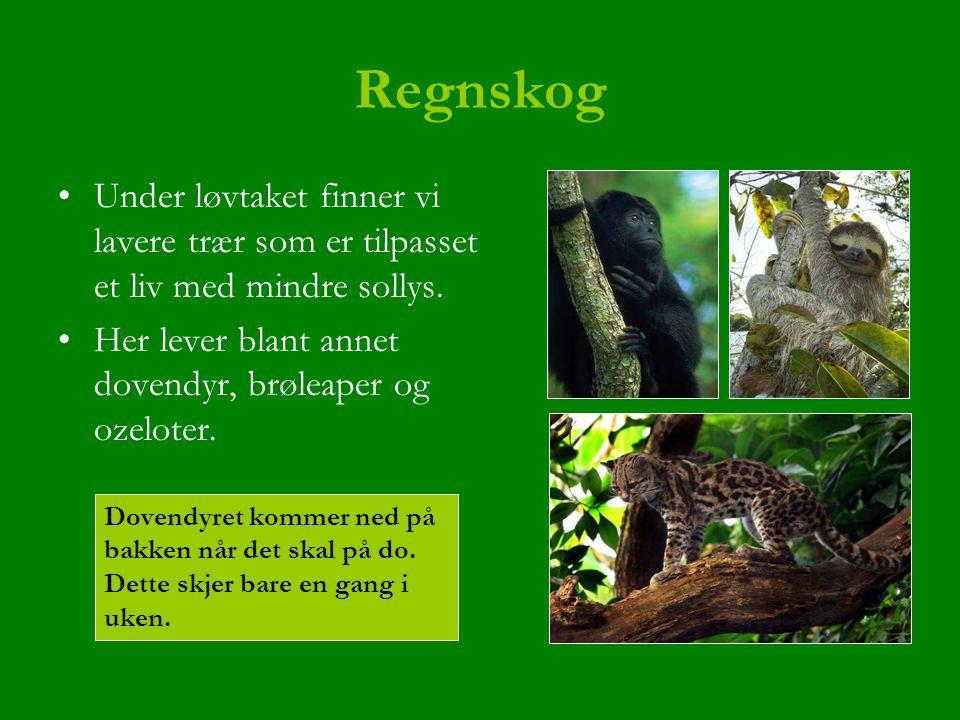 Regnskog Under løvtaket finner vi lavere trær som er tilpasset et liv med mindre sollys. Her lever blant annet dovendyr, brøleaper og ozeloter.