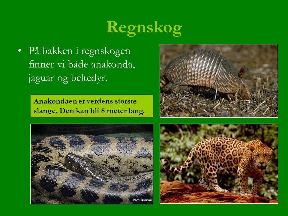 Regnskog På bakken i regnskogen finner vi både anakonda, jaguar og beltedyr. Anakondaen er verdens største slange. Den kan bli 8 meter lang.
