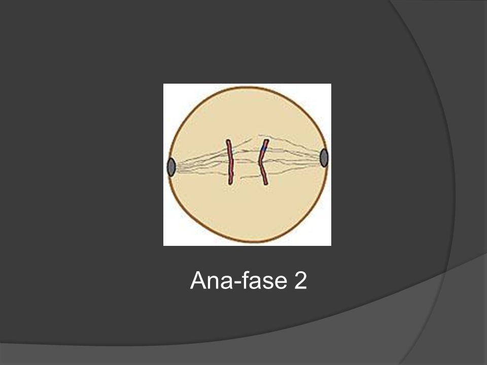 Ana-fase 2