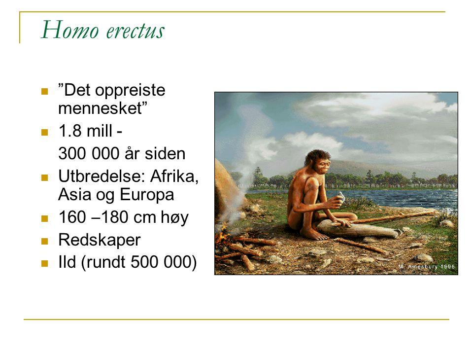 Homo erectus Det oppreiste mennesket 1.8 mill - 300 000 år siden