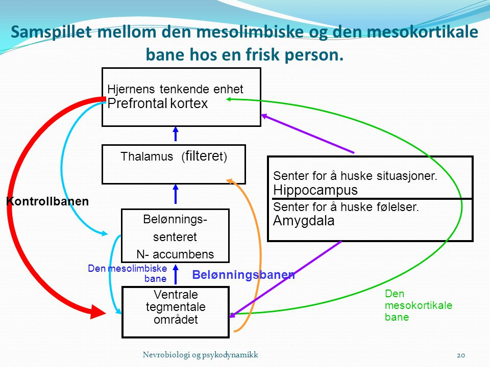 Samspillet mellom den mesolimbiske og den mesokortikale bane hos en frisk person.