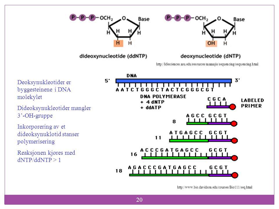 Deoksynukleotider er byggesteinene i DNA molekylet