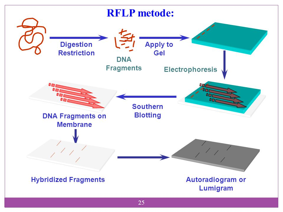 RFLP metode: Digestion Restriction Apply to Gel DNA Fragments