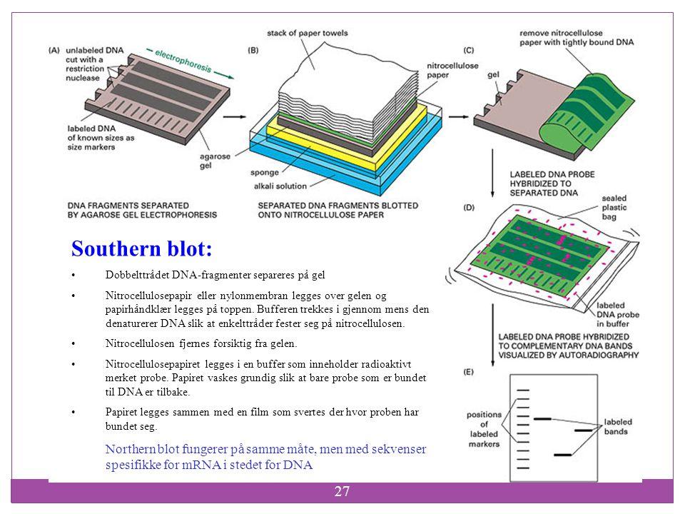 Southern blot: Dobbelttrådet DNA-fragmenter separeres på gel