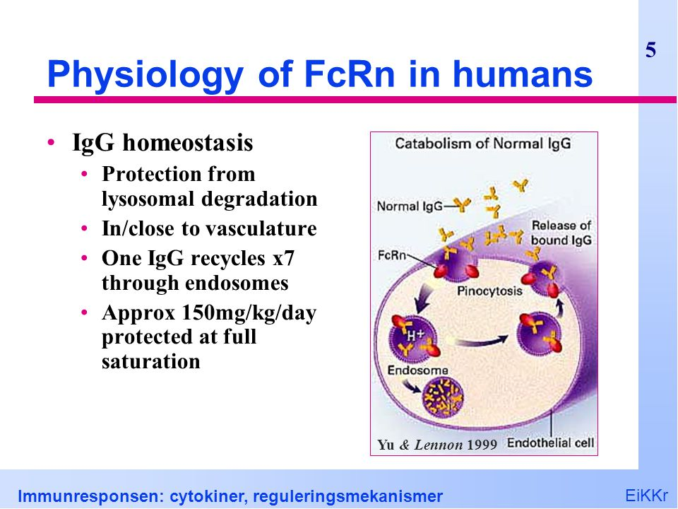 Physiology of FcRn in humans