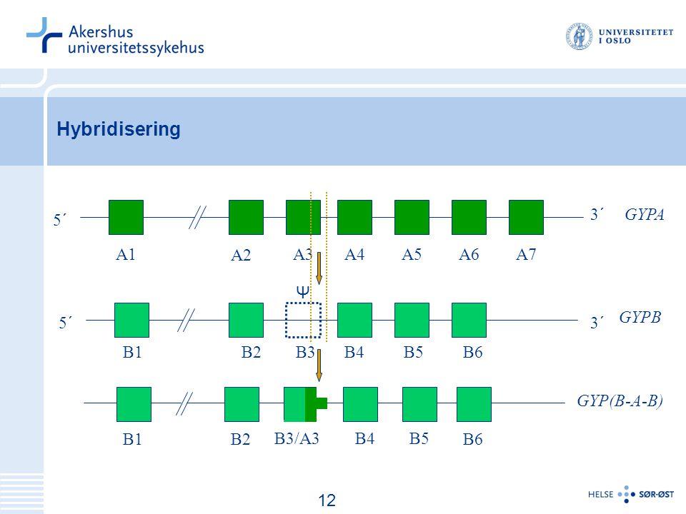 Hybridisering 3´ GYPA 5´ A1 A2 A3 A4 A5 A6 A7 Ψ GYPB 5´ 3´ B1 B2 B3 B4