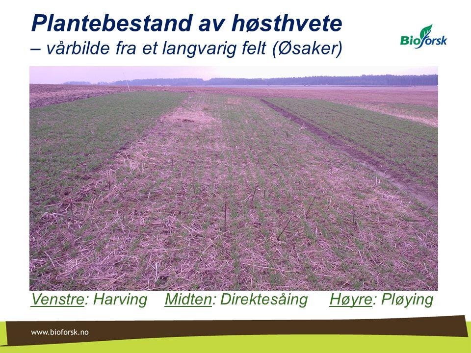 Plantebestand av høsthvete – vårbilde fra et langvarig felt (Øsaker)