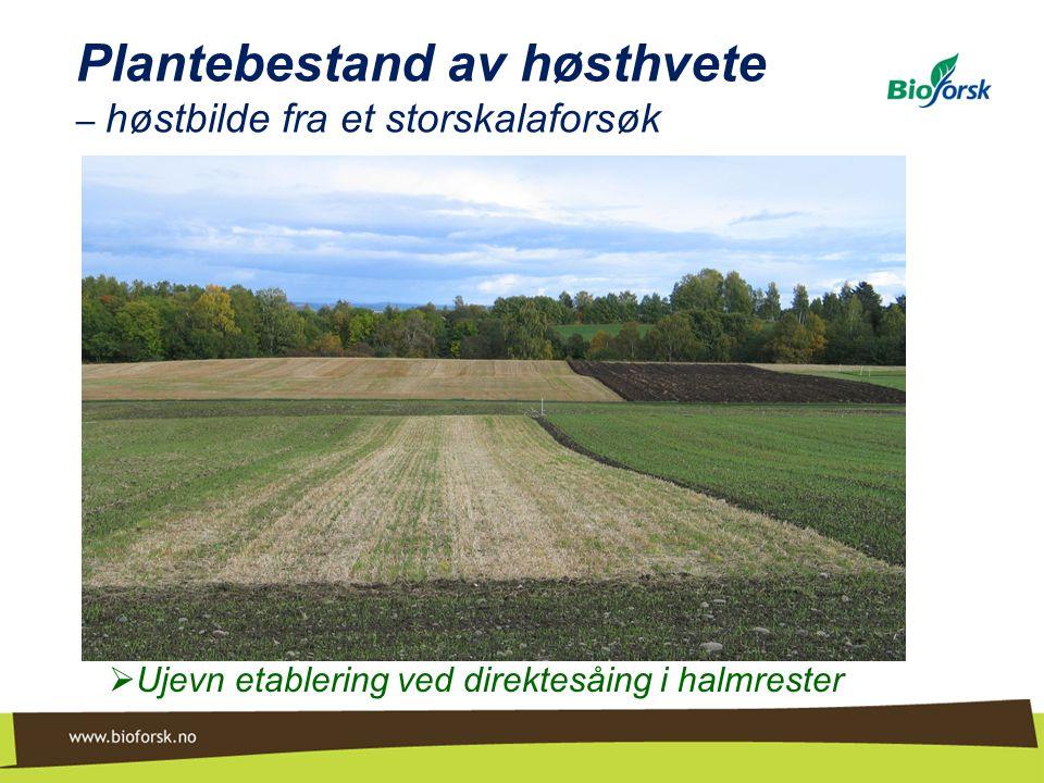 Plantebestand av høsthvete – høstbilde fra et storskalaforsøk