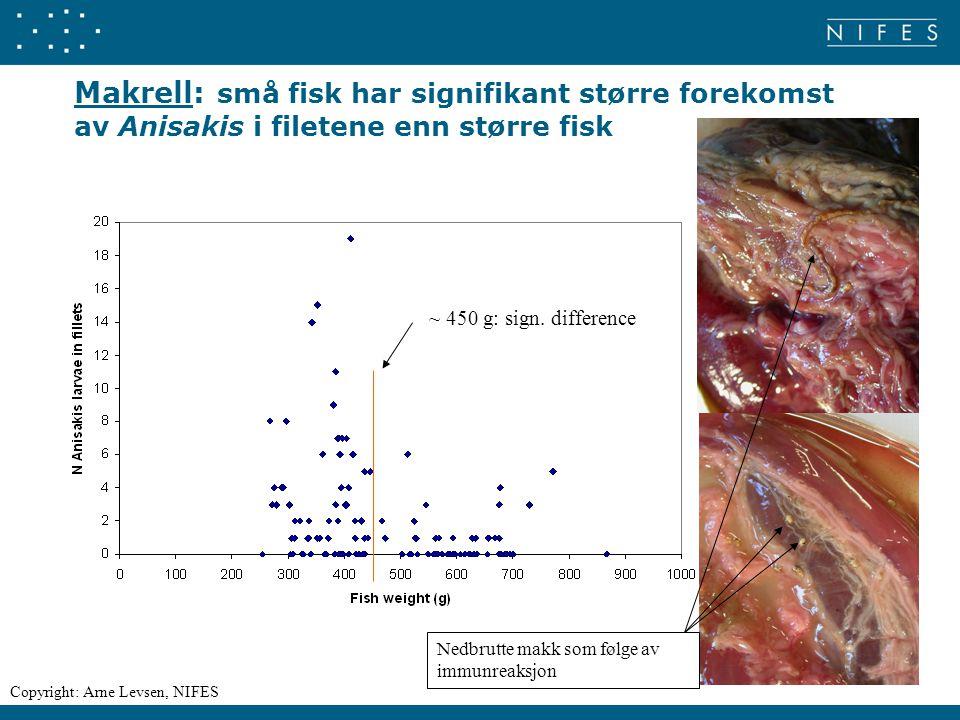 Makrell: små fisk har signifikant større forekomst av Anisakis i filetene enn større fisk