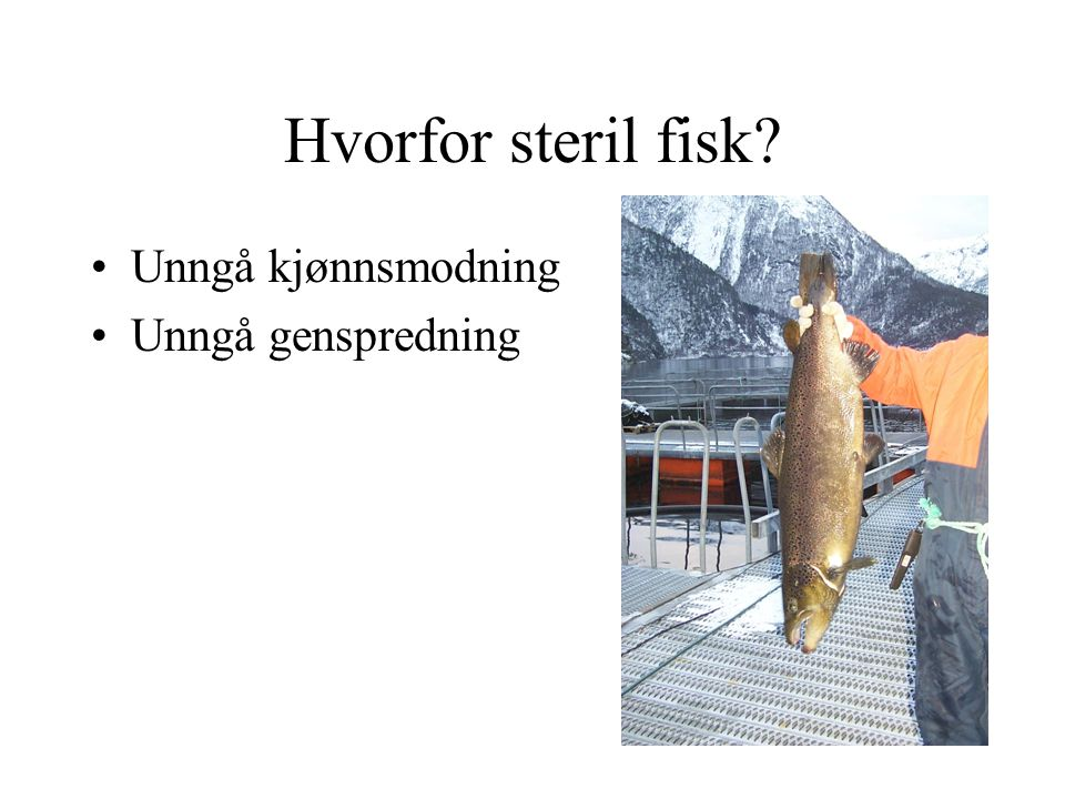 Hvorfor steril fisk Unngå kjønnsmodning Unngå genspredning