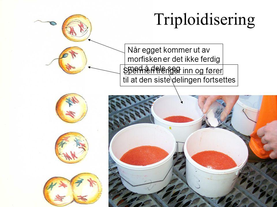 Triploidisering Når egget kommer ut av morfisken er det ikke ferdig
