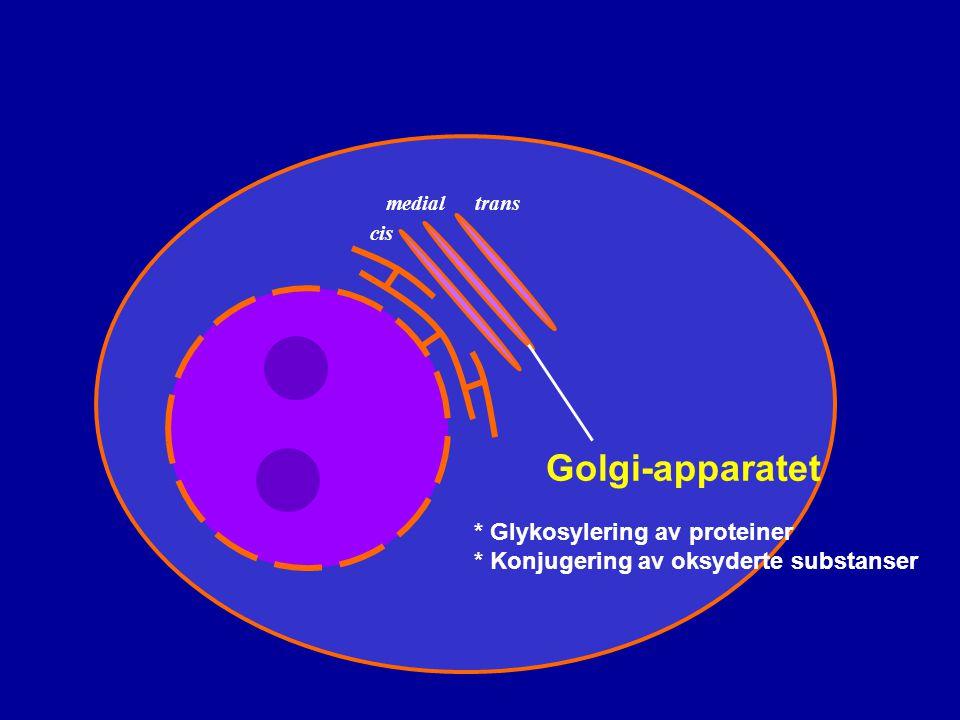 Golgi-apparatet * Glykosylering av proteiner