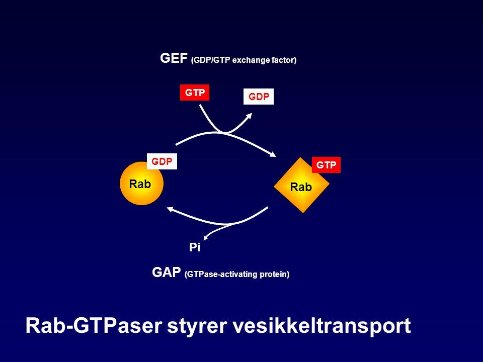 Rab-GTPaser styrer vesikkeltransport