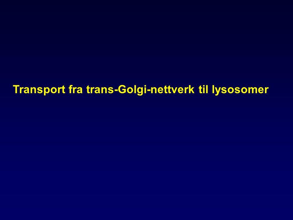 Transport fra trans-Golgi-nettverk til lysosomer