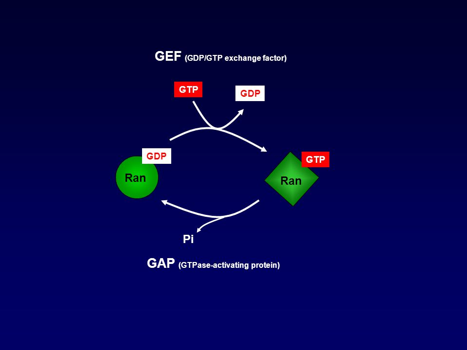 GEF (GDP/GTP exchange factor)