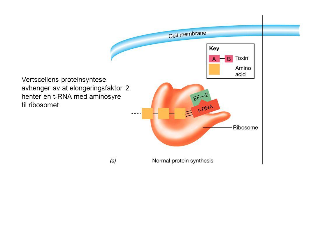 Vertscellens proteinsyntese avhenger av at elongeringsfaktor 2