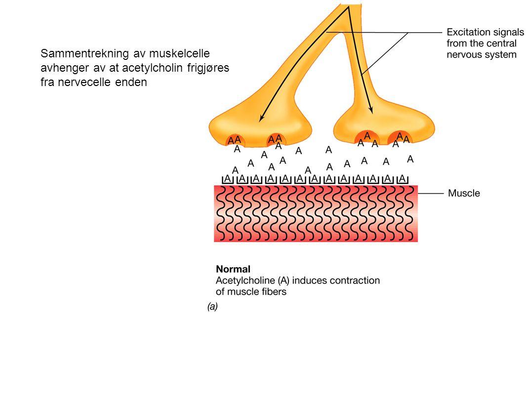 Sammentrekning av muskelcelle avhenger av at acetylcholin frigjøres