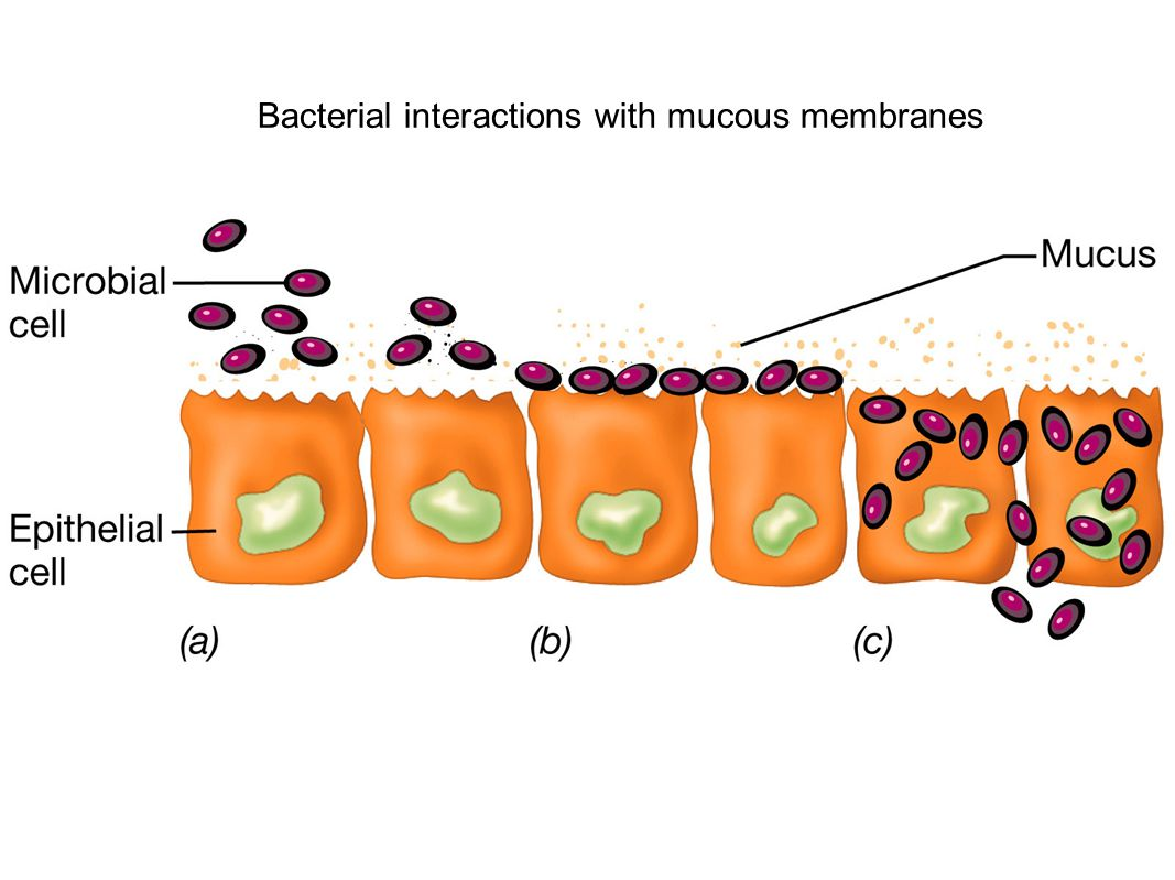 Bacterial interactions with mucous membranes