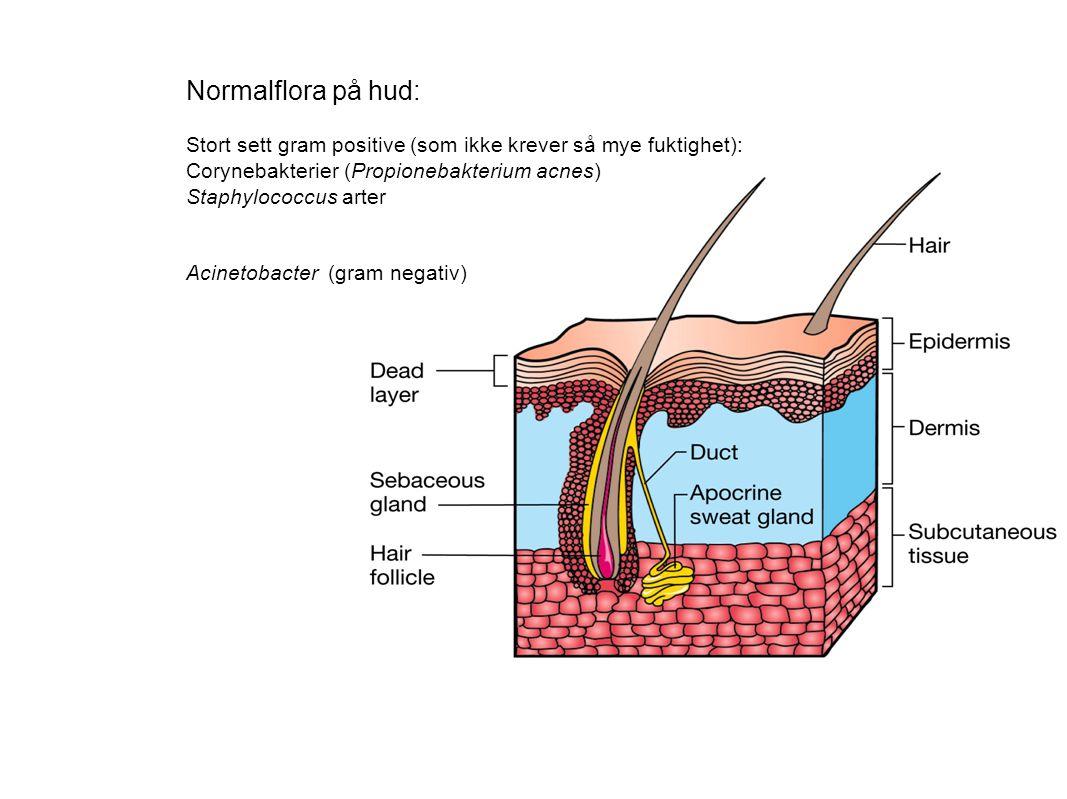 Normalflora på hud: Stort sett gram positive (som ikke krever så mye fuktighet): Corynebakterier (Propionebakterium acnes)