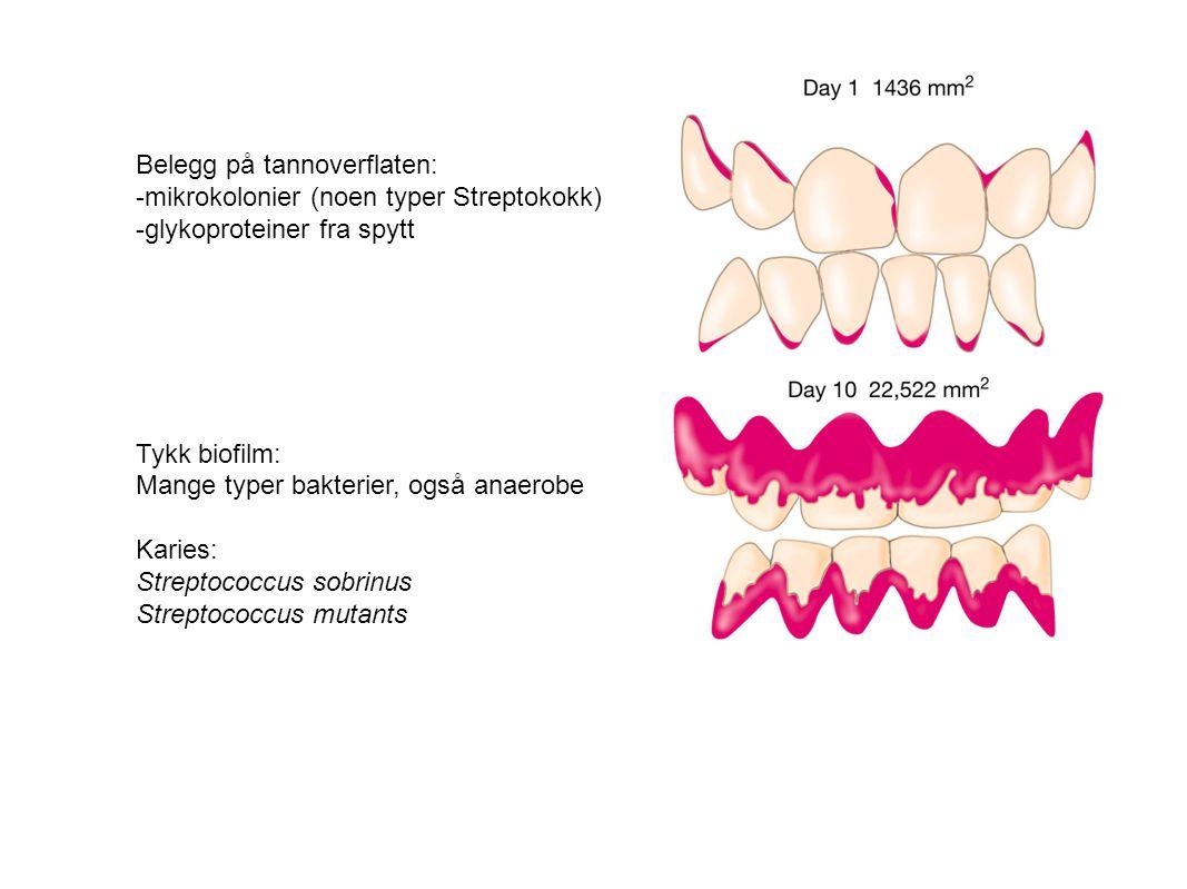 Belegg på tannoverflaten: -mikrokolonier (noen typer Streptokokk)