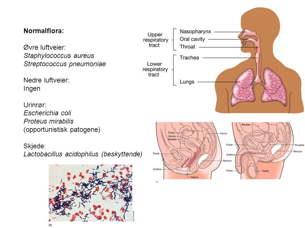 Staphylococcus aureus Streptococcus pneumoniae Nedre luftveier: Ingen