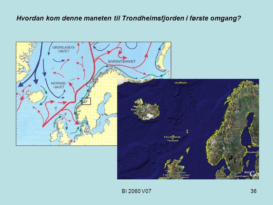 Hvordan kom denne maneten til Trondheimsfjorden i første omgang