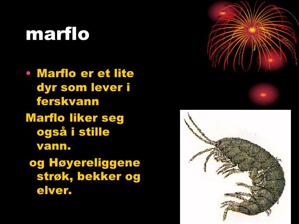 marflo Marflo er et lite dyr som lever i ferskvann