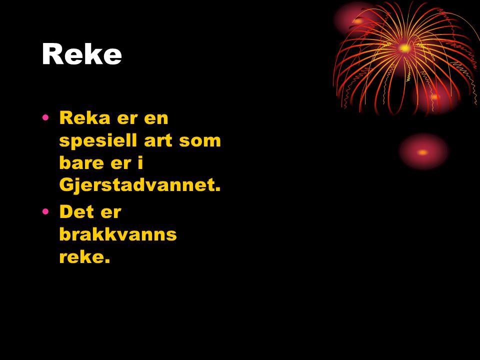 Reke Reka er en spesiell art som bare er i Gjerstadvannet.