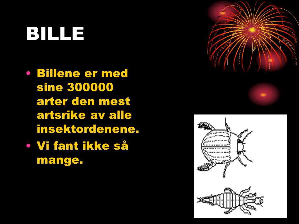 BILLE Billene er med sine 300000 arter den mest artsrike av alle insektordenene.