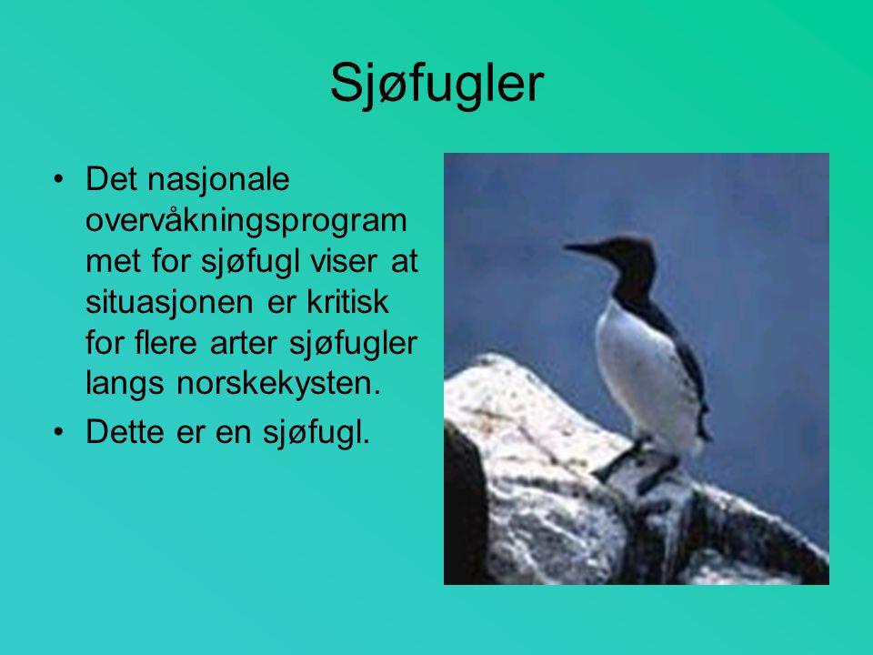 Sjøfugler Det nasjonale overvåkningsprogrammet for sjøfugl viser at situasjonen er kritisk for flere arter sjøfugler langs norskekysten.