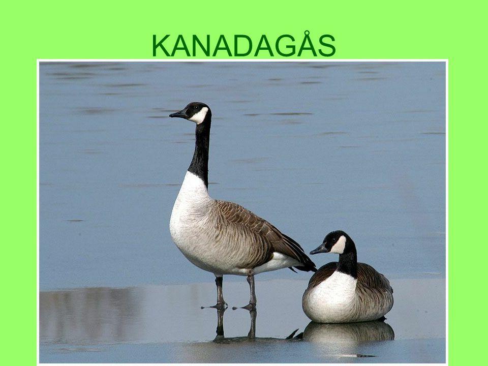 KANADAGÅS