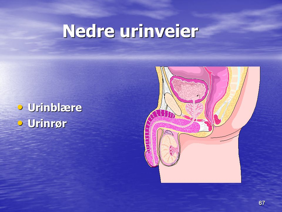 Nedre urinveier Urinblære Urinrør 17.09.1999