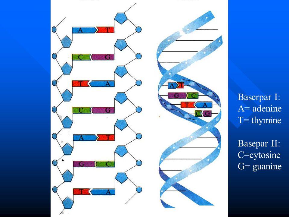 Baserpar I: A= adenine T= thymine Basepar II: C=cytosine G= guanine