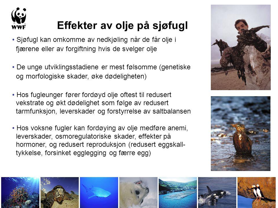 Effekter av olje på sjøfugl