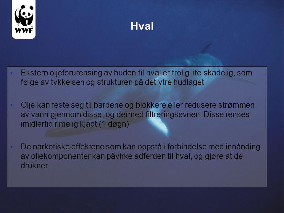 Hval Ekstern oljeforurensing av huden til hval er trolig lite skadelig, som følge av tykkelsen og strukturen på det ytre hudlaget.