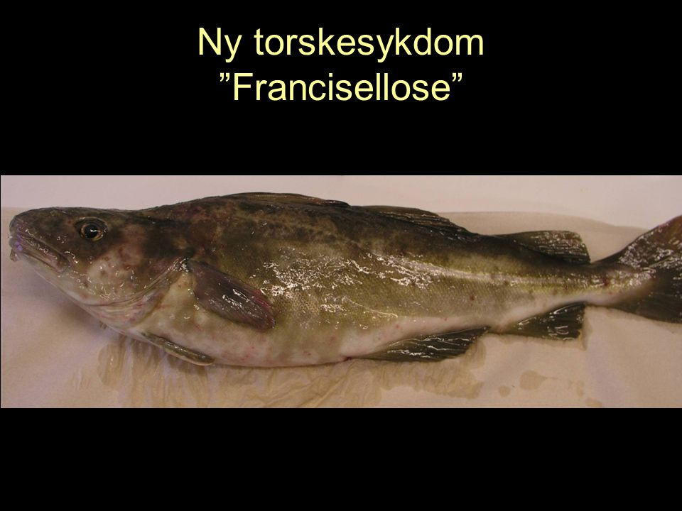Ny torskesykdom Francisellose