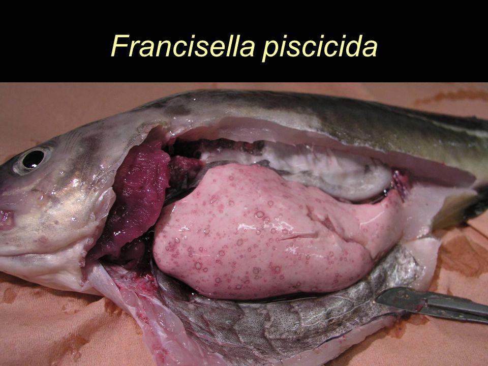 Francisella piscicida
