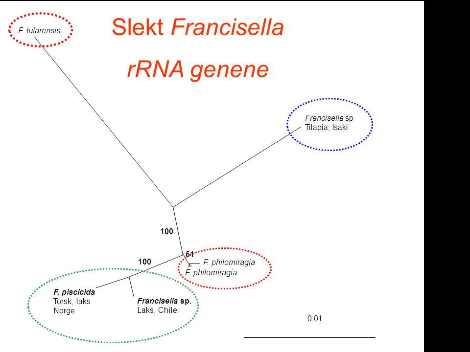 Slekt Francisella rRNA genene F. tularensis Francisella sp