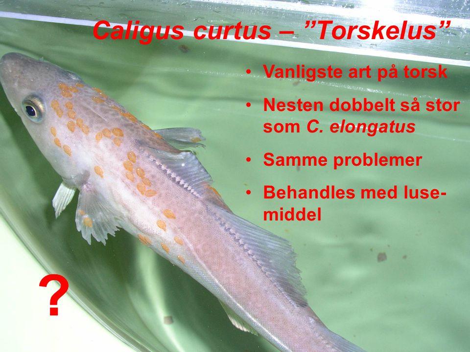 Caligus curtus – Torskelus