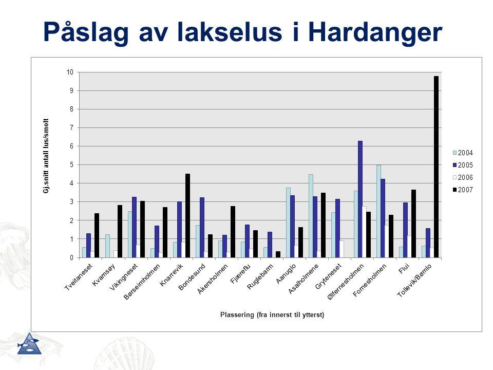 Påslag av lakselus i Hardanger